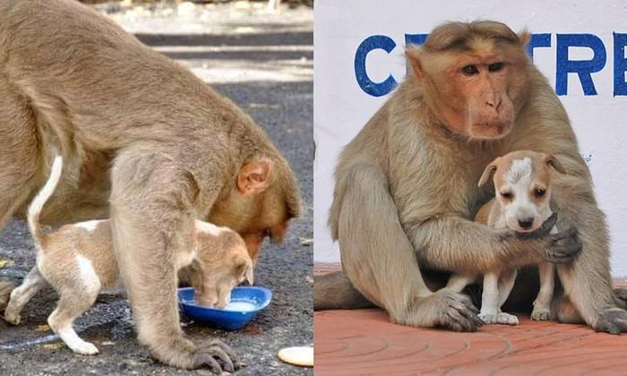 """น่ารักไปอีก """"แม่ลิงเลี้ยงลูกสุนัข"""" ดูแลเหมือนกับว่าเป็นลูกตัวเองจริงๆ"""