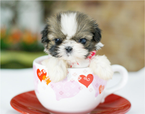 มีหมากระเป๋าแล้ว...เคยเห็นหมาแก้วป่ะ...น่ารักม๊ากมาก