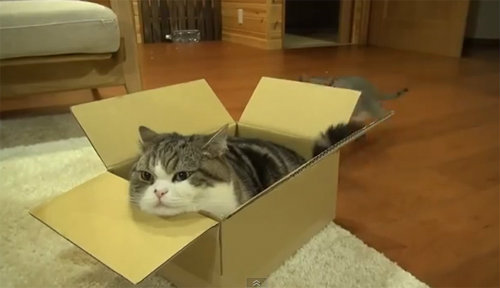 มารุ แมวชอบกล่อง ขวัญใจชาวโซเชียล