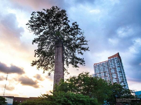 ต้นไม้แปลก ต้นไทรในปล่องโรงสี ใจกลางกรุงเทพฯ