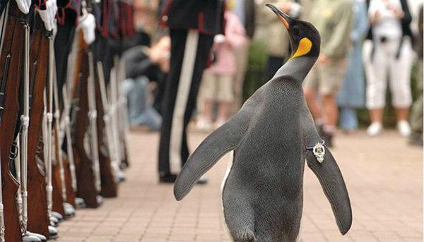 เพนกวินสกอตแลนด์เลื่อนขั้นติดยศ 'เซอร์'