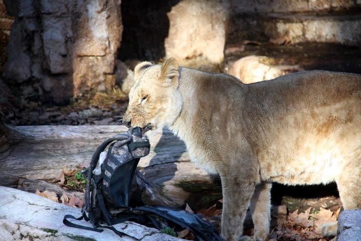 ช๊อกคนทั้งสวนสัตว์..หนุ่มกระโดดเข้ากรงสิงโต