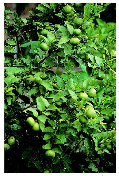 ตัวอย่างการผลิตไม้ผลนอกฤดูของไทย-:-มะนาว