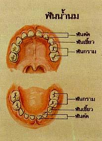 ฟันและเหงือกของเรา