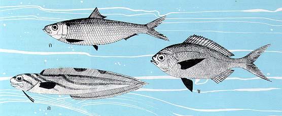 การเคลื่อนไหวและทรงตัวในน้ำของปลา