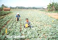 ความนิยมมกับการปลูกผักระบบเกษตรอินทรีย์ในปัจจุบัน