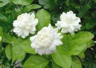 ดอกมะลิ-ดอกไม้วันแม่แห่งชาติ