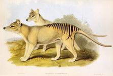 เสือทัสมาเนีย (Tasmania Tiger : Thylacine species)