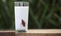 """นักวิจัยพบ """"นมแมลงสาบ"""" โปรตีนสูงกว่านมวัว 3 เท่า"""