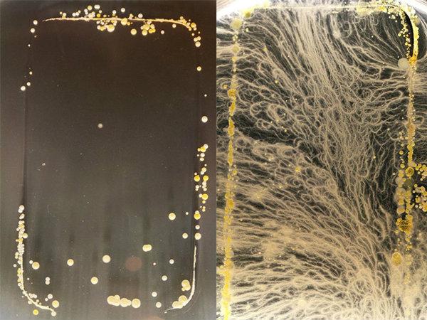 จะเกิดอะไรขึ้นเมื่อนำหน้าจอสมาร์ทโฟนไปเพาะเชื้อแบคทีเรีย (ชมภาพ)