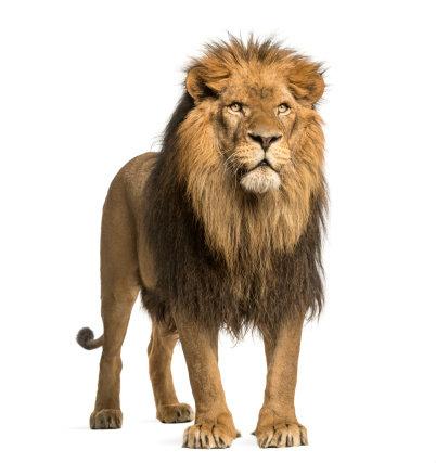 สิงโต ผู้นำแห่งพลังอำนาจ