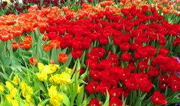 เที่ยวสวนดอกทิวลิปในเมืองไทย ไม่ต้องไปไกลถึงเนเธอแลนด์