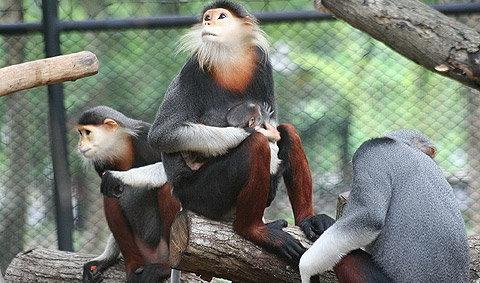 ค่างห้าสี..ตัวแรก ของสวนสัตว์เปิดเขาเขียว