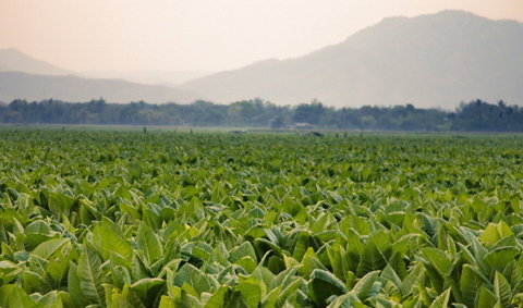 ยาสูบ อีกหนึ่งพืชเศรษฐกิจของเกษตรกรไทย