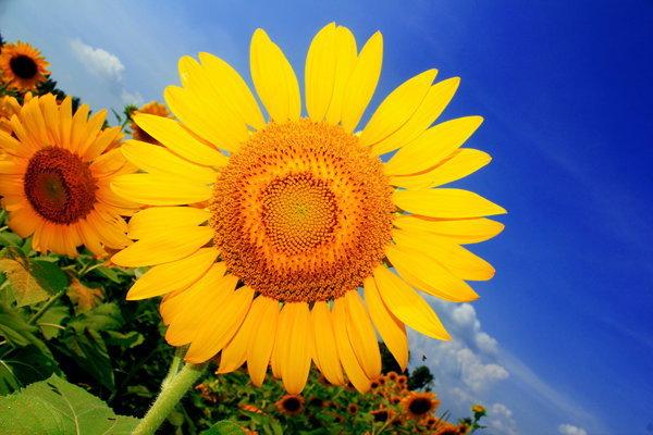 เที่ยวทุ่งทานตะวันบาน 2 จังหวัด ชมแหล่งพลังงานแสงอาทิตย์ใหญ่ที่สุดใลก