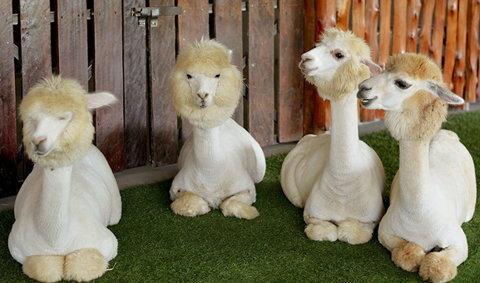 Alpaca hill ฟาร์มอัลปาก้าแห่งแรก และใหญ่ที่สุดในประเทศไทย