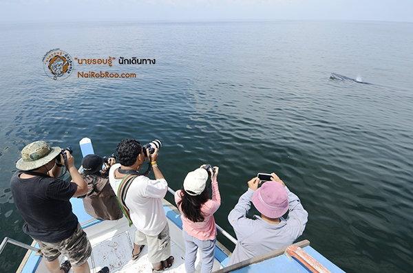 ออกเรือตามหายักษ์ใหญ่แห่งท้องทะเลอ่าวไทย