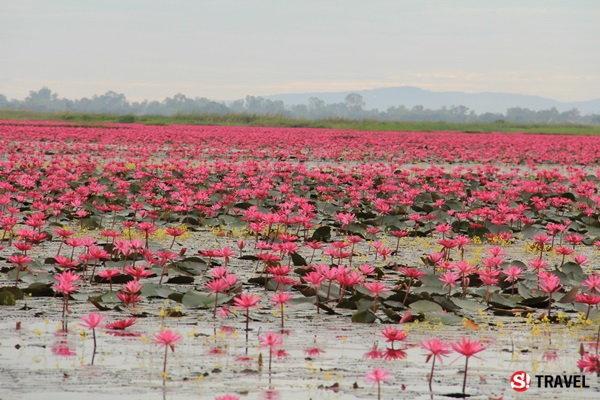 """""""ทะเลบัวแดง"""" หนองหาน..ทะเลสาบดอกบัว..ชื่อดังระดับโลก"""