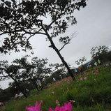 ทุ่งดอกกระเจียว ป่าหินงาม จ. ชัยภูมิ