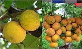 เทศกาลกระท้อนหวานและของดีเมืองลพบุรี ปี 2555
