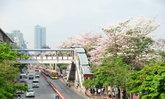 บานรับลมร้อน 'ชมพูพันธุ์ทิพย์' ออกดอกสะพรั่ง..ทั่วกรุงเทพมหานคร
