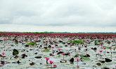 มหัศจรรย์ 'ทะเลบัวแดง' กุมภวาปี บานหลงฤดูในช่วงหน้าฝน จ.อุดรธานี