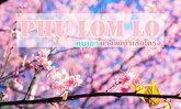 """เที่ยว """"ภูลมโล"""" ชมดอกนางพญาเสือโคร่ง (ซากุระเมืองไทย) ที่ใหญ่ที่สุด  ณ อุทยานแห่งชาติภูหินร่องกล้า"""
