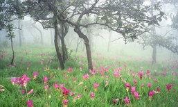 เตรียมตัวชม 'ทุ่งดอกกระเจียว' ความงดงามในป่าหน้าฝน ณ อุทยานแห่งชาติป่าหินงาม