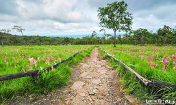 อัพเดตล่าสุดทุ่งดอกกระเจียวบานเต็มทุ่ง ณ ชัยภูมิ
