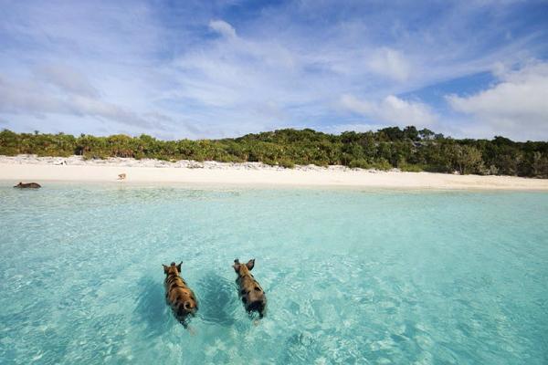 'Major Cay' เกาะกลางทะเลที่มีแต่หมู (บาฮามาส)