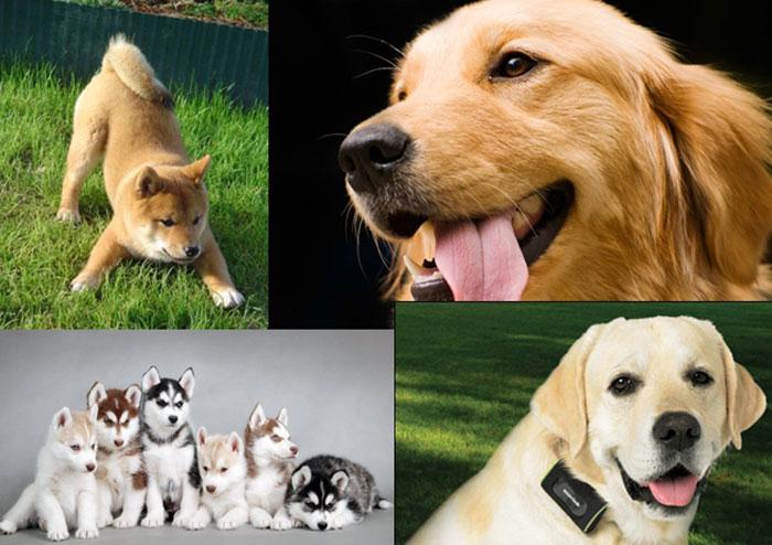 รวมสายพันธุ์สุนัขดาวรุ่งขึ้นแท่นจอเงิน