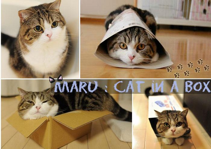 มารุ แมวกล่องตัวกลมปุ๊กที่ใครๆก็อยากฟัด!