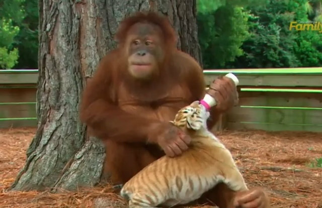ลิงอุรังอุตังเพศเมีย เลี้ยงเจ้าเสือน้อยเหมือนลูกแท้ๆ