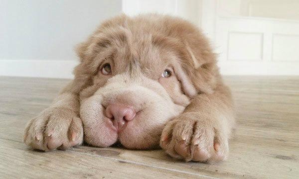 น่ารักปุกปุย Tonkey Bear สุนัขฮอต ขวัญใจชาวโซเชียล