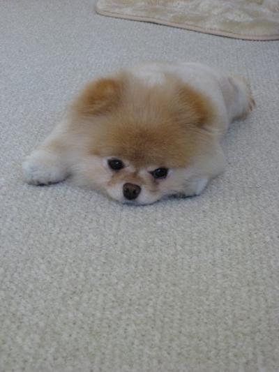 บู น้องหมาน่ารักที่สุดในโลก